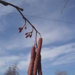Betulaceae – Alnus glutinosa (L.) Gaertner