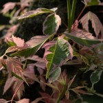 Aceraceae – Acer sp.