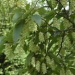 Corylaceae – Ostrya carpinifolia Scop.