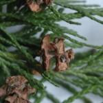Cupressaceae – Chamaecyparis lawsoniana (Murray) Parl.
