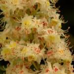 Hippocastanaceae – Aesculus hippocastanum L