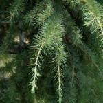 Pinaceae – Cedrus deodara (D. Don) G. Don Fil.