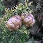 Cupressaceae – Cupressus sempervirens L.