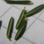 Ericaceae – Erica arborea L.
