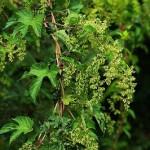 Cannabaceae – Humulus lupulus L.