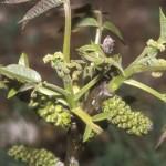 Juglandaceae – Juglans regia L.