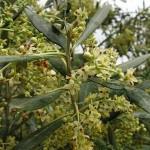 Oleaceae – Olea europaea L.