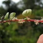 Urticaceae – Parietaria sp.