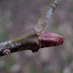 Platanaceae – Platanus hybrida Brot.