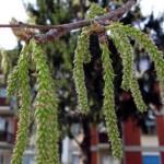Salicaceae – Populus alba L.