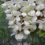 Fabaceae – Robinia pseudoacacia L.