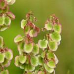 Polygonaceae – Rumex sp.