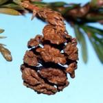 Taxodiaceae – Sequoia sempervirens (Lamb.) Endl.