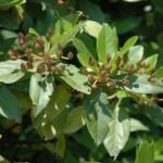 Caprifoliaceae – Viburnum tinus L.