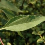 Compositae – Helianthus tuberosus L.