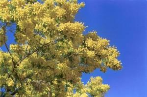 8 marzo: la mimosa