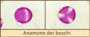 anemone-boschi