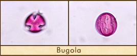 bugola