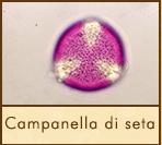 campanella-seta