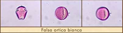 falsa-ortica
