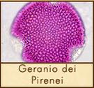 geranio-pirenei