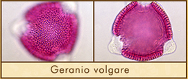 geranio-volgare