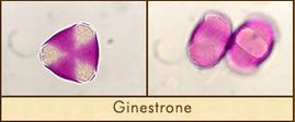 ginestrone