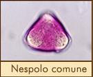nespolo-comune