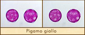 pigamo-giallo