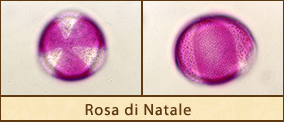 rosa-natale