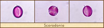 scorodonia