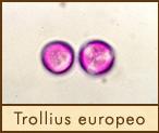 trollius
