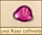 una-rosa-coltivata