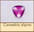 camedrio-alpino