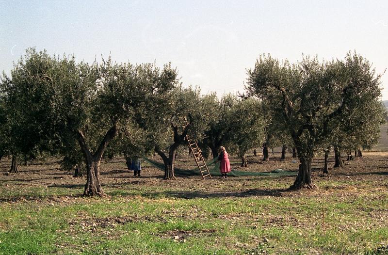 Antonio Graziani_Raccolta olive in Puglia