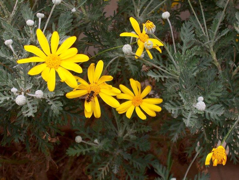 Augusto Arsieni_Asteraceae.jpg