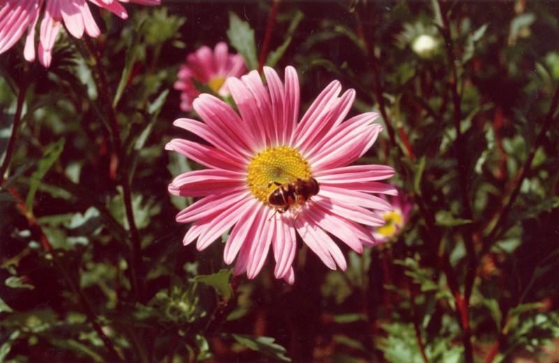 Maira Bonini_Compositae e api.jpg