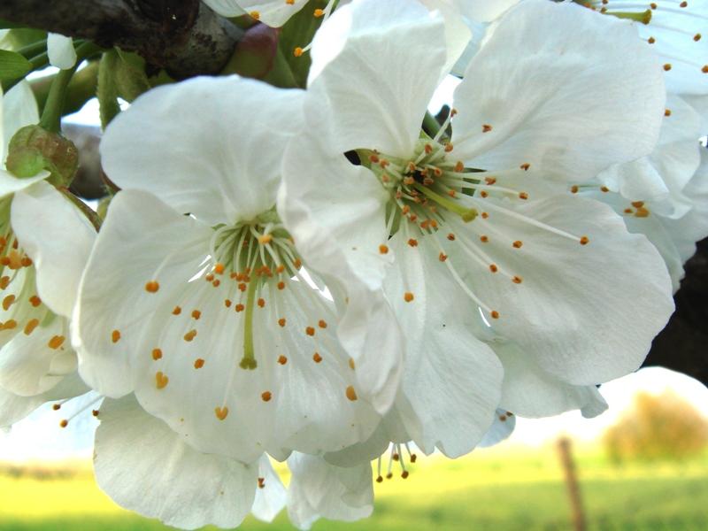 Roberto Albertini_Prunus avium L.