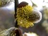 A. Travaglini, Salix caprea.JPG