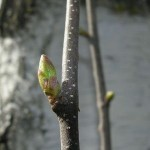 Betulaceae – Betula pendula Roth.