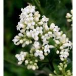 Oleaceae – Ligustrum vulgare L.