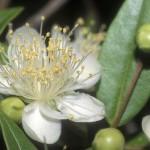 Myrtaceae – Myrtus communis L.